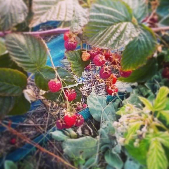 Ya solo quedan frambuesas de la temporada de frutos del bosque
