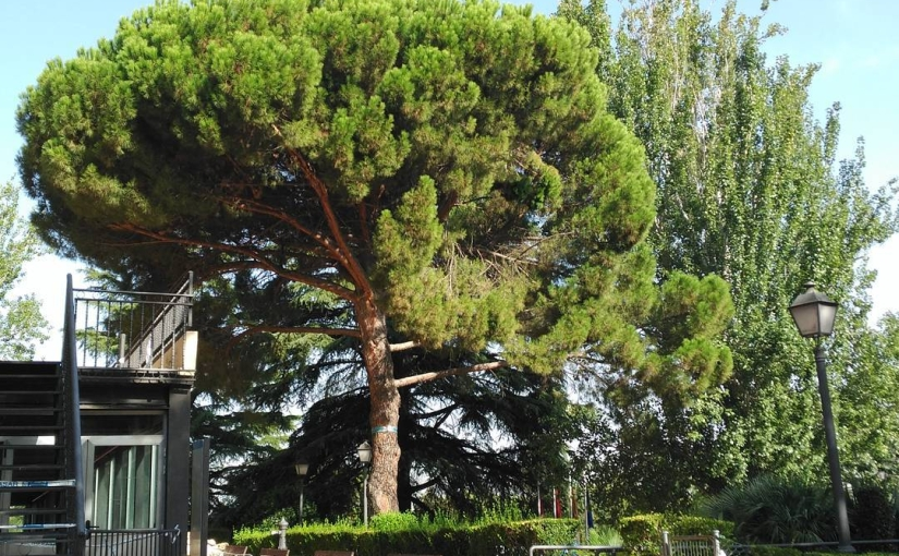El árbol más característico de la Casa de Campo…
