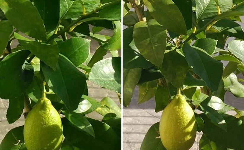 El limonero plantado el año pasado, a punto de dar su primer fruto